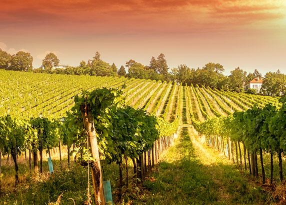 De prachtige wijngaard in Weingut am Cobenzl